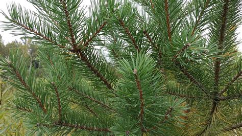 scotch pine trees scotch pine trees bare root seedlings for sale cold