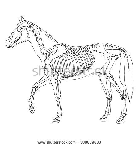 horse skeleton coloring page horse skeleton stock photos images pictures shutterstock