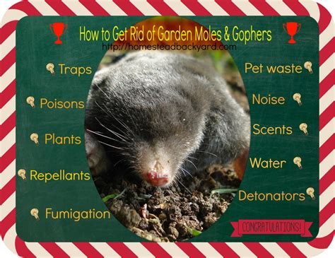 how to get rid of a gopher in my backyard how to get rid of garden moles gophers