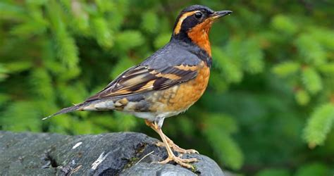 varied thrush life history all about birds cornell lab