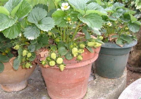 fragole in vaso sul balcone coltivare le fragole sul balcone l orto sul balcone