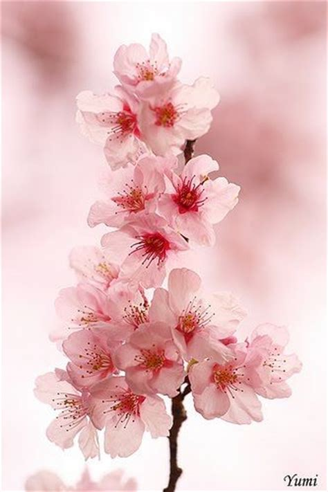 25 best ideas about japanese cherry blossoms on pinterest