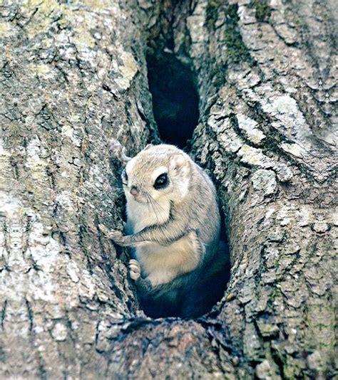 scoiattolo volante scoiattolo volante siberiano l animale pi 249 carino