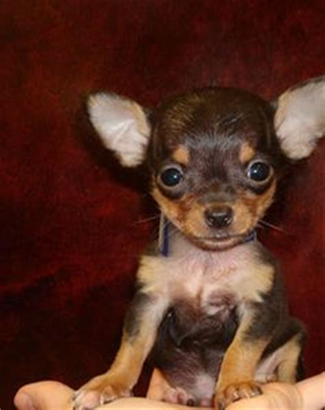 brown chihuahua puppies 1000 images about chihuahua on chihuahuas haired chihuahua and