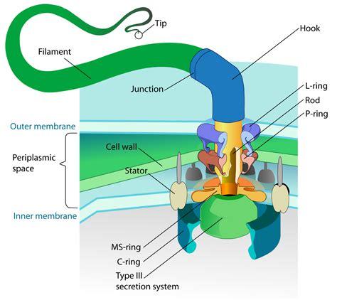 diagram of flagella file flagellum base diagram en svg