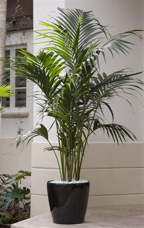 grow palms palmers garden centre indoor plants