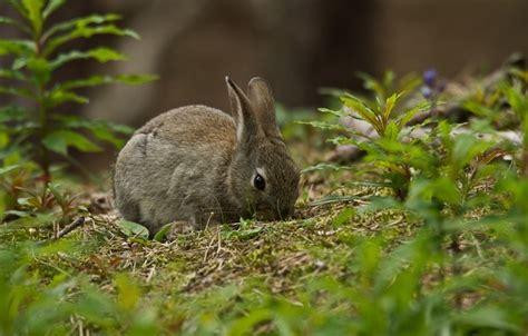 grey rabbit wallpaper wallpaper grass grey rabbit images for desktop section