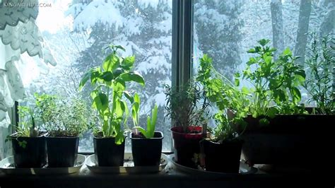 windowsill herb garden window sill herb garden mywellness network