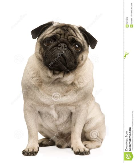 4 year pug pug 4 years stock photo image 5877890