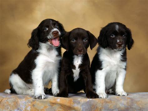 free puppies in delaware free hq springer spaniel puppies wallpaper free hq wallpapers