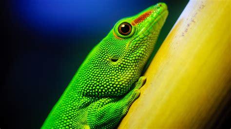 wallpaper little green little green lizard 4k ultra hd desktop wallpaper