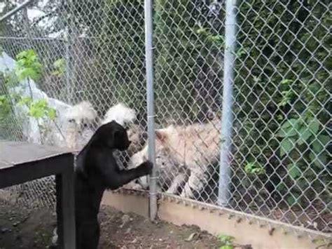 jaguar kitten jaguar kitten is protected by while playfully