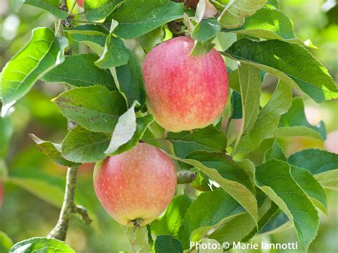 fruit trees in home orchard fruit trees not bearing fruit