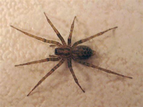 domestic house spider tegenaria domestica the barn funnel weaver aka the domestic house spider