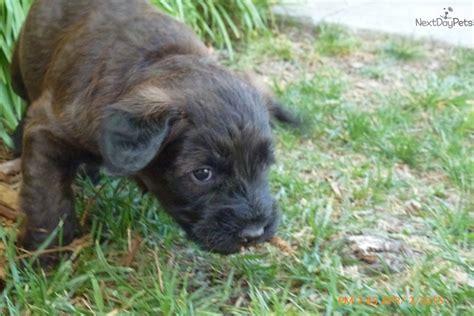 whoodle puppies for sale near me whoodle puppy for sale near sacramento california e4e37087 7f01