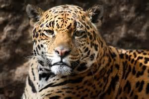 Jaguar Conservation Status Jaguar Conservation Status Groups Programs