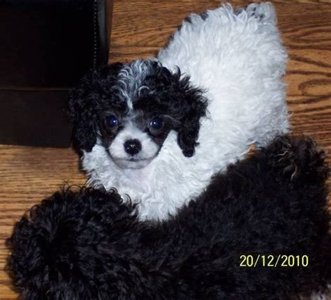 free puppies in louisville ky akc teacup to small miniature poodle puppies for sale adoption from louisville