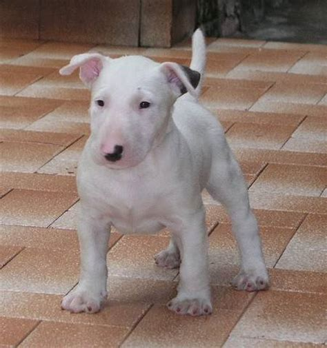bull terrier puppies rescue bull terrier puppies for adoption ny breeds picture