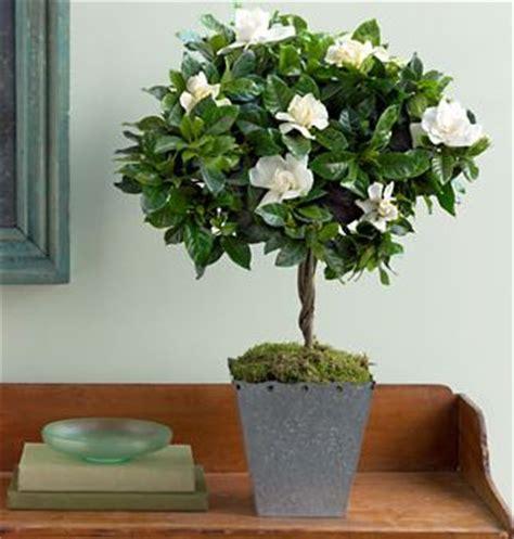 images  growing gardenia  pinterest