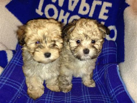 purebred havanese heavenly havanese purebred females for sale mill bay cowichan