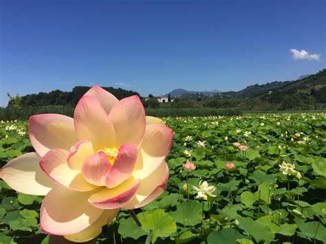 fiori di loto loto il capolavoro di ingegneria della natura innaturale