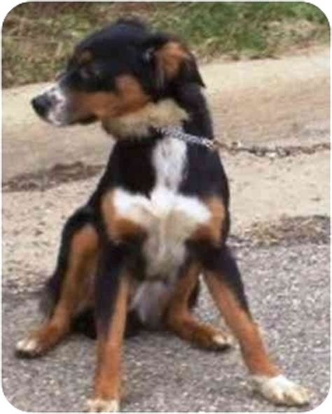 bernese mountain puppies mn bryanna adopted osseo mn bernese mountain sheltie shetland sheepdog mix