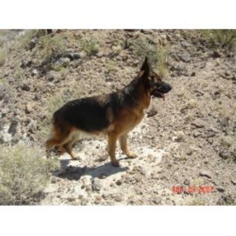 free puppies az german shepherd gsd alsatian breeders in arizona freedoglistings