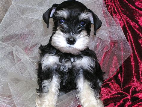 black and silver miniature schnauzer puppies black and silver phantom