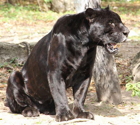 jaguar negro felinos