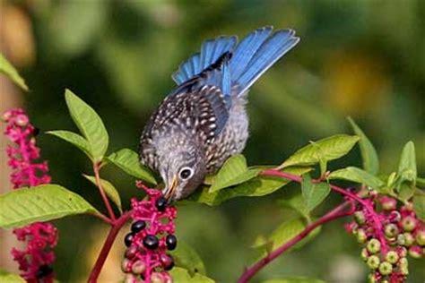 sialis bluebird diet