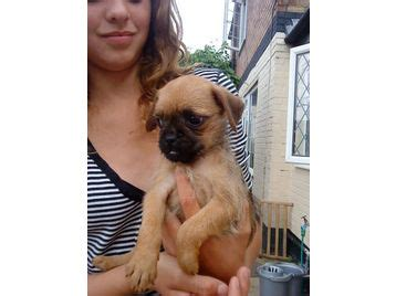 pug puppies for sale uk 300 pug border terrier puppies for sale 163 300 uk free classifieds muamat