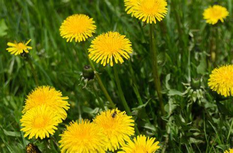 why kill dandelions five cedars