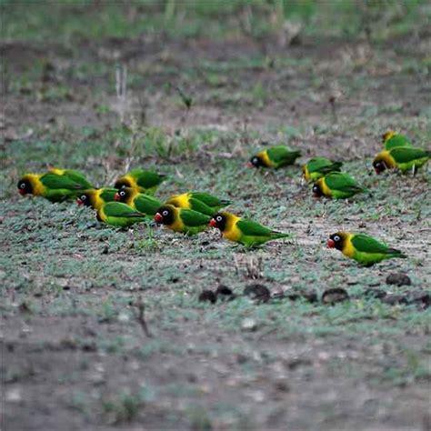 Tempat Makan Burung Lovebird sehat alami manis perawatan burung lovebird di alam liar