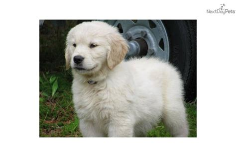 golden retriever breeders new golden retriever breeders new dogs our friends photo