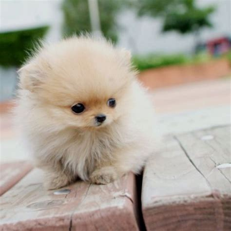 miniature pomeranian breeders best 25 pomeranian ideas on pomeranian puppy teacup dogs and