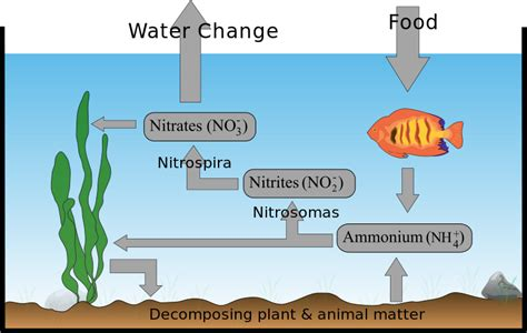 Do I Need To Cycle Tank If I Detox It by File Aquarium Nitrogen Cyclezp Svg Wikimedia Commons