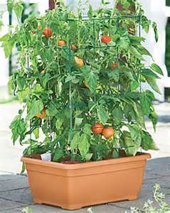 container gardening tomatoes terrace gardening how do you look at it gardening forums