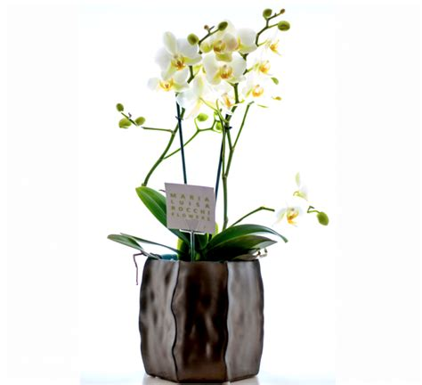 orchidea in vaso orchidea multiflora in vaso ordina cosaporto it