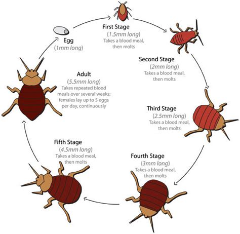 life cycle of bed bugs what are bed bugs faq all bed bugs begone