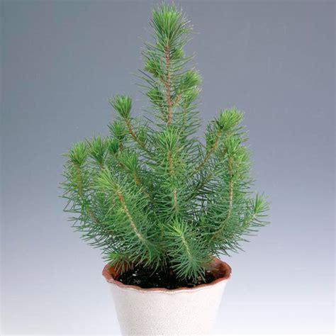 italian stone pine indoors pinus pinea  garden insider