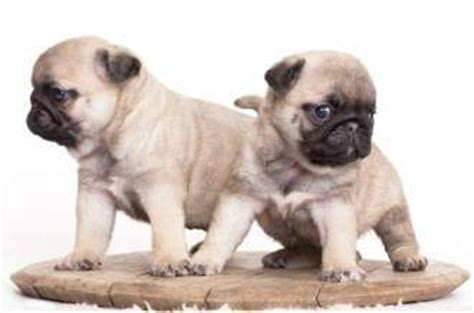 pug puppy has diarrhea pug puppy care how to take great care of your pug puppy