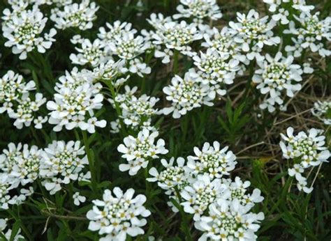 white perennial flowers plants jpg 2 comments