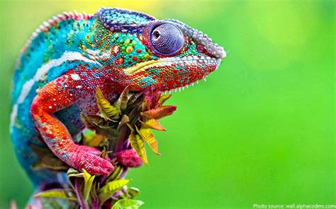 colorful animals interesting facts about chameleons just facts