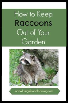 get rid of raccoons raccoons and gardens