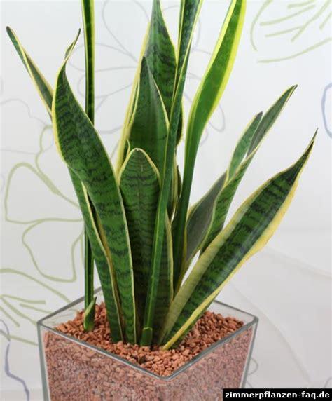 sansevieria trifasciata bogenhanf sansevieria trifasciata