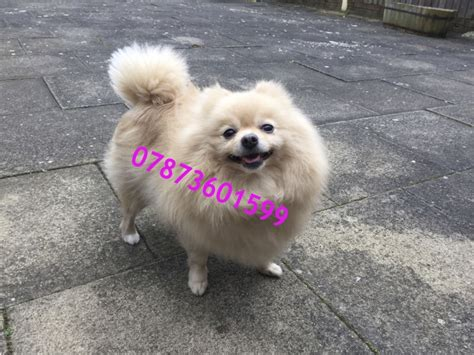 Pomeranian Puppy For Sale West Pets Homes Breeds Picture