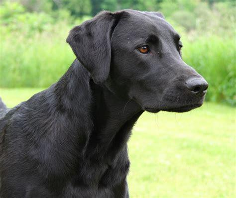 images of labrador puppies retriever labrador may 2012