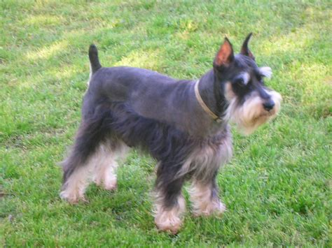 schnauzer puppies nc mini schnauzer puppies nc picture breeds picture