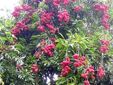 Bibit Pohon Buah Leci tanaman buah buahan tanaman buah leci dataran rendah