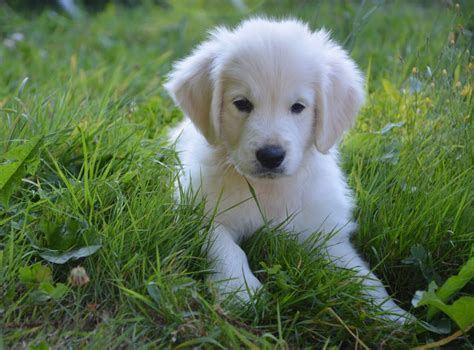 golden retriever diarrhea treatment giardia in puppies causes signs treatment canna pet 174